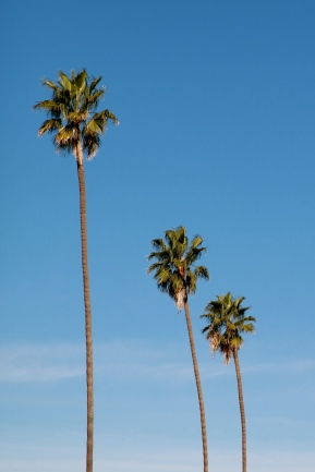 Three palms on Manhattan Blvd.