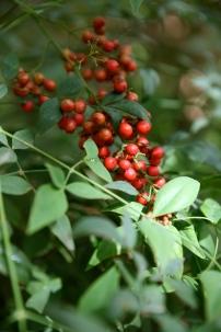Arizona Berry Tree
