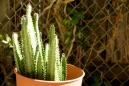 Cacti in a big planter.